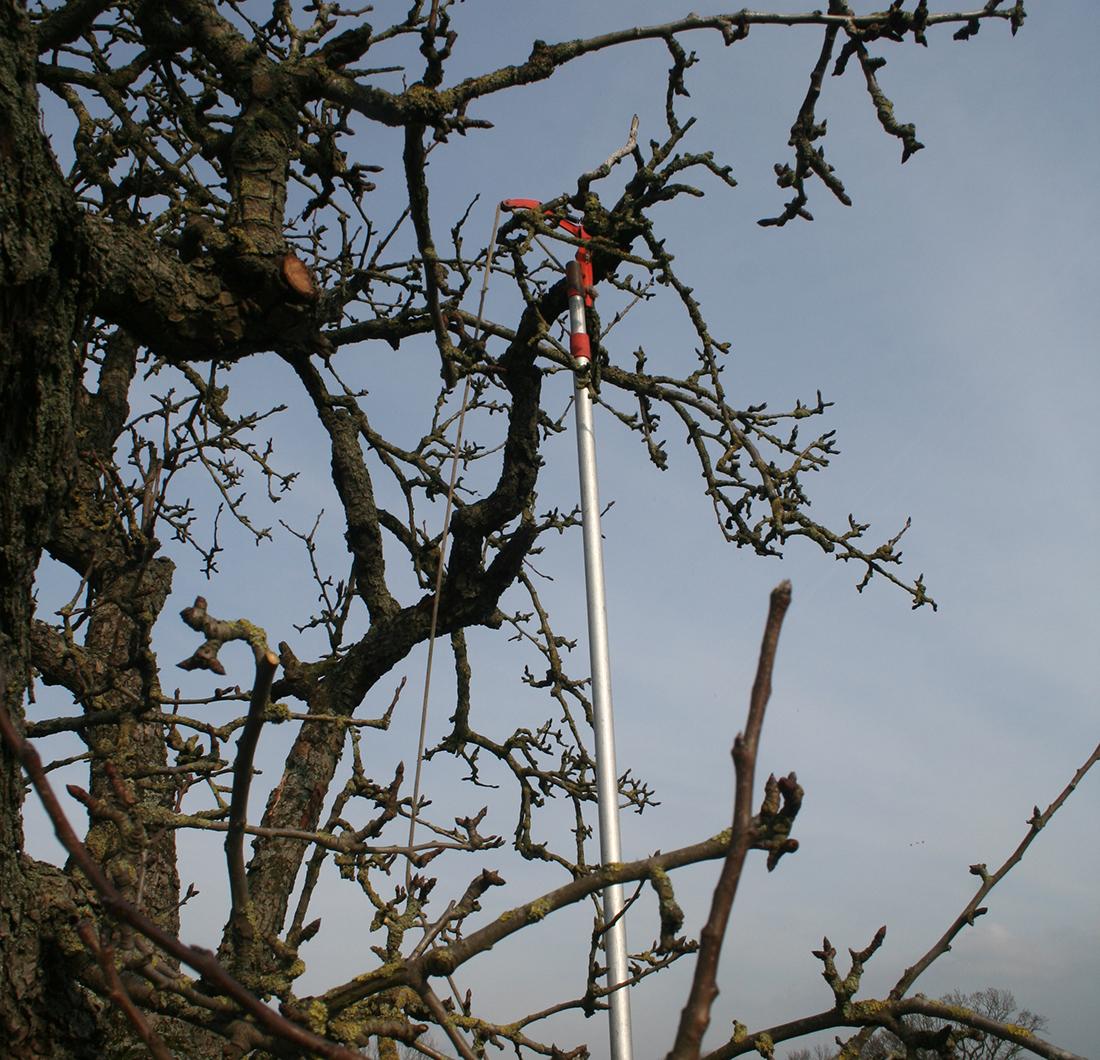 Snoeien van een oude perenboom