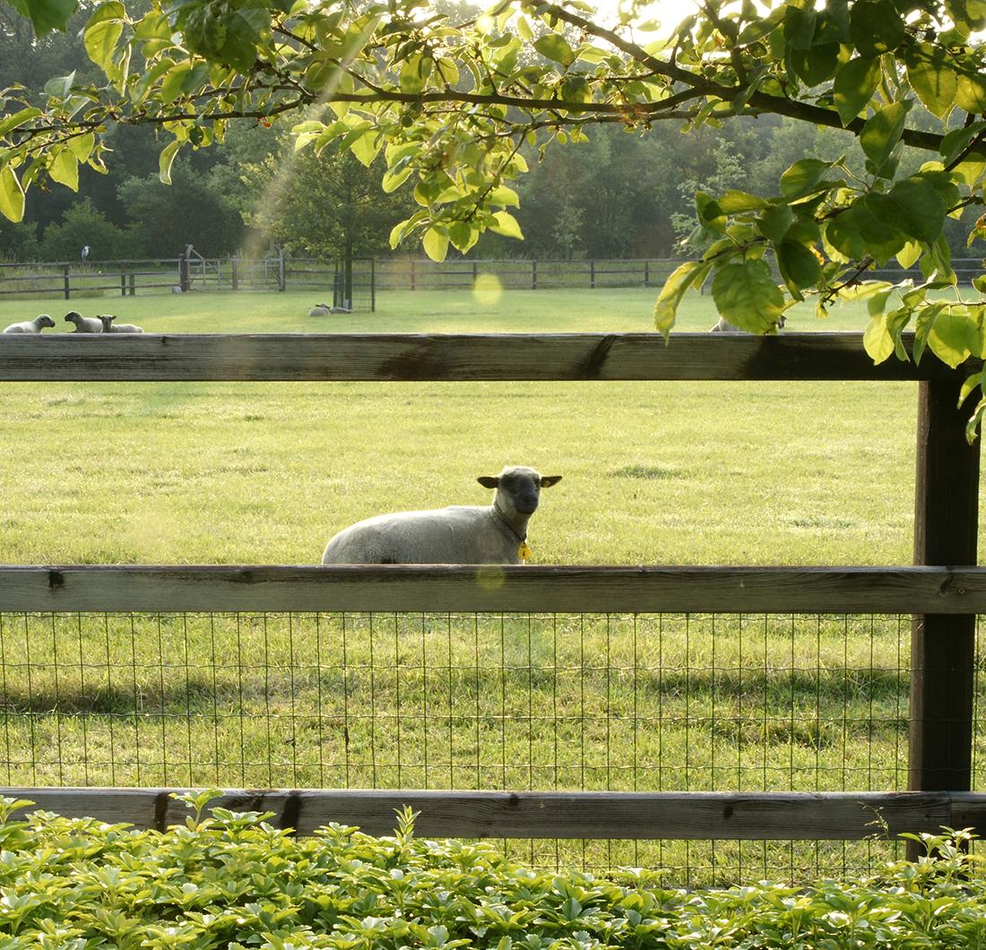 Westendorp omheining schapen